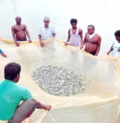 Collection Of Fish Seeds In Tb Fish Farm Pond