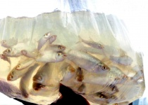 Fish Seeds Packed To Release To Tb Reservoir